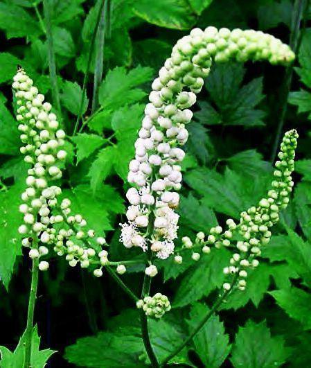 цимицифуга растение