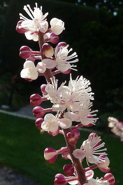 растение цимицифуга фото