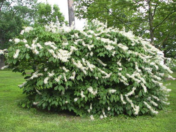 растение клопогон цимицифуга