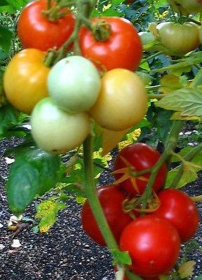 томаты от паразитов
