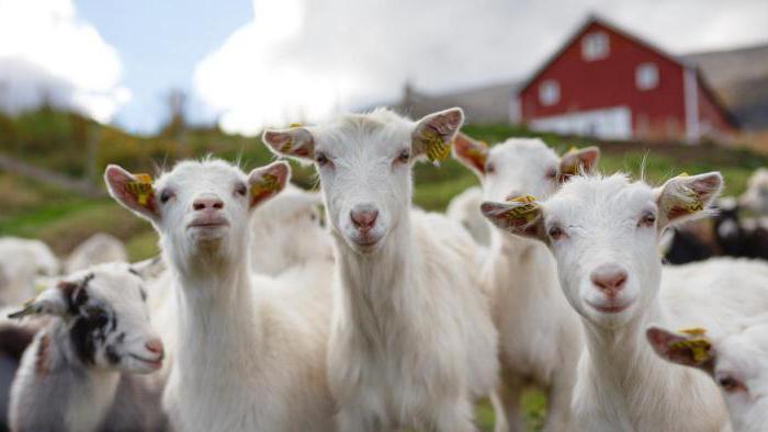 лучшее время для случки коз
