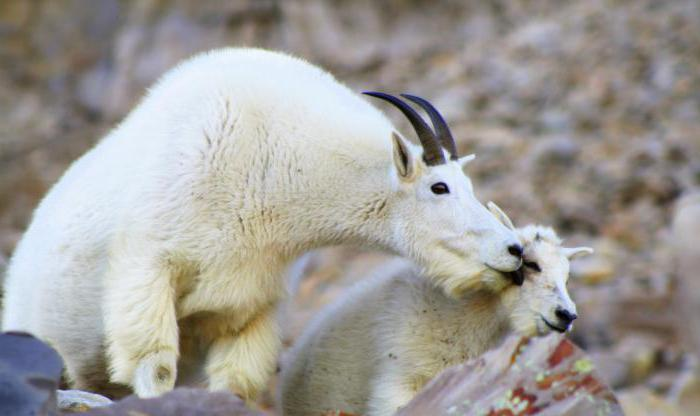 случка коз