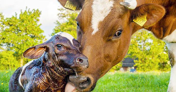как принимать роды у коровы