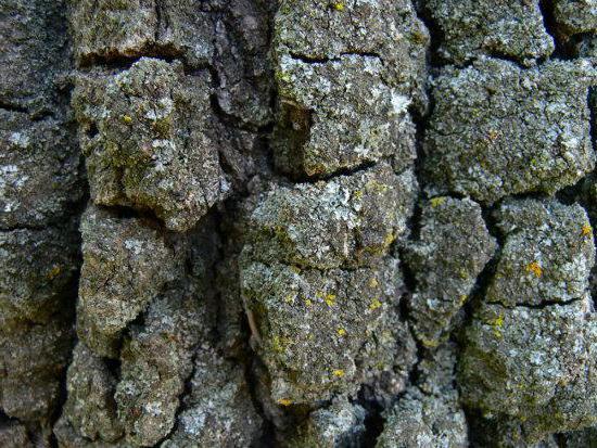 каменный дуб фото