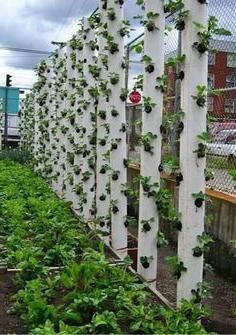 выращивание клубники в горизонтальных трубах