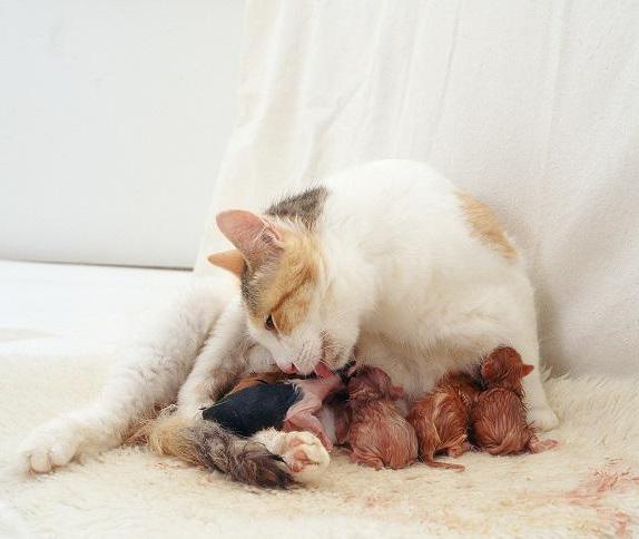 Картинки роды у кошек