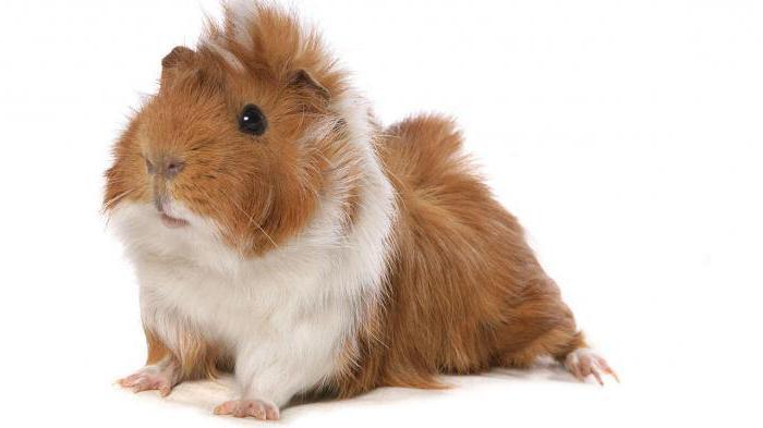 Все о морских свинках в домашних условиях отзывы 187