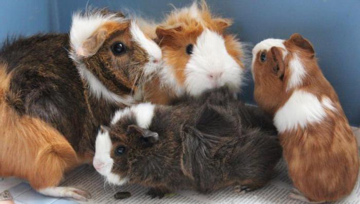 Все о морских свинках в домашних условиях отзывы 527