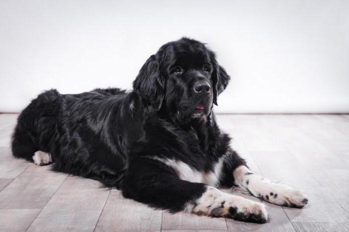 заворот кишок у собак симптомы причины