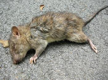 Сонник белая крыса к чему снится крыса белая во сне