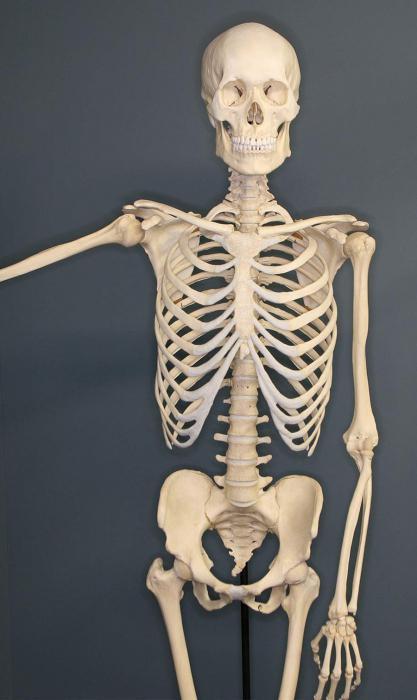 Кости входящие в состав грудной клетки
