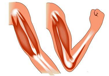 Скелетные мышцы. Группы скелетных мышц. Строение и функции скелетных мышц