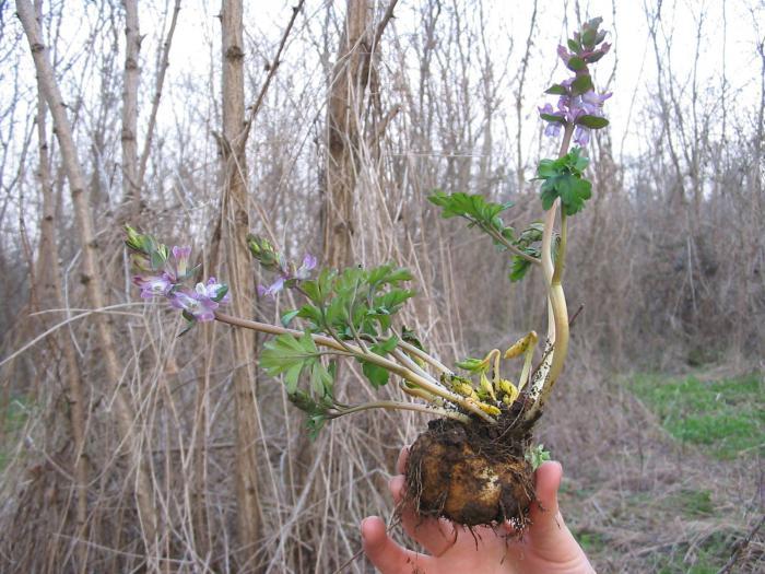 Фото и описание цветов хохлатка