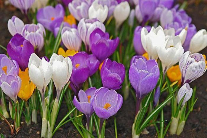 Тюльпаны цветов с названиями 97