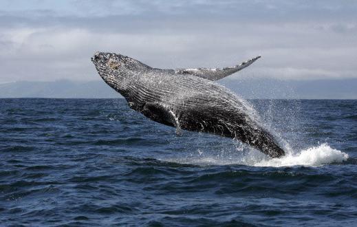 как умирают киты