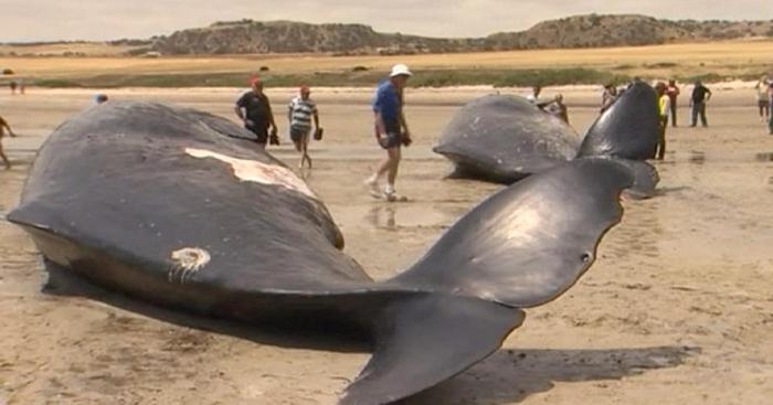 почему умирают киты