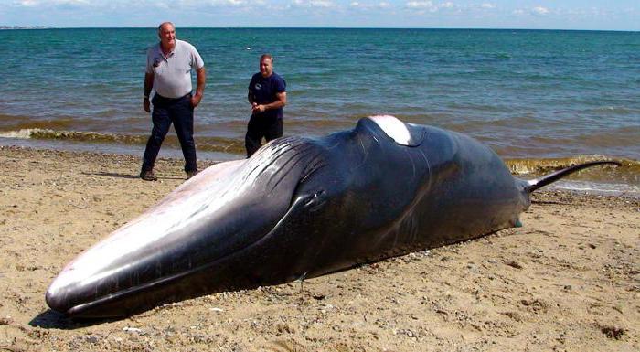почему умирают киты на суше