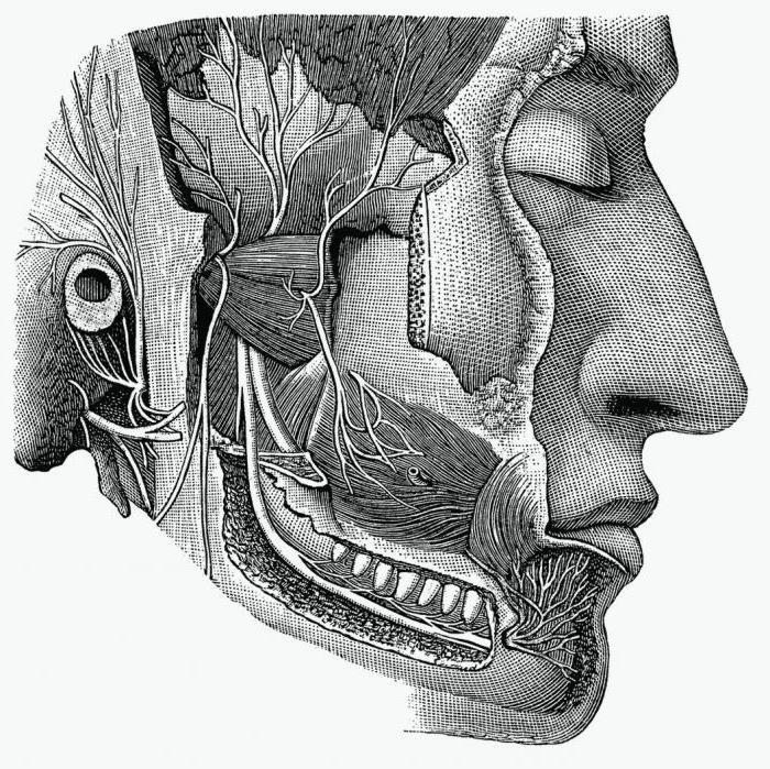 Ядра черепных нервов