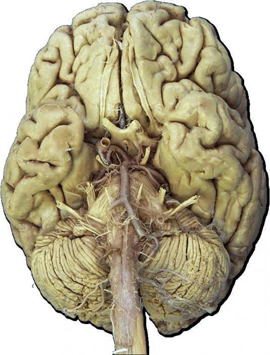 черепные нервы 12 пар