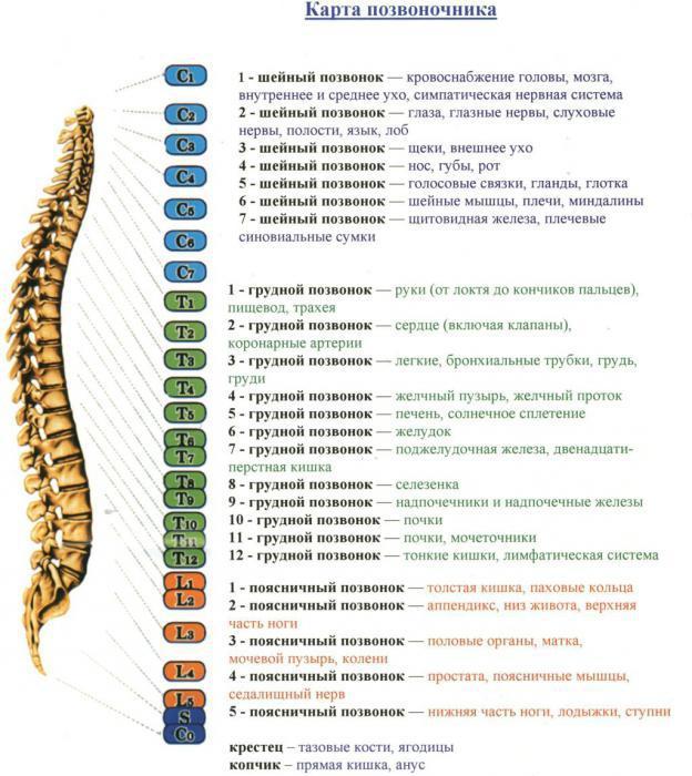 строение позвоночника человека схема обозначение анатомия