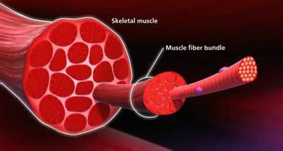механизм мышечного сокращения скелетной мышцы