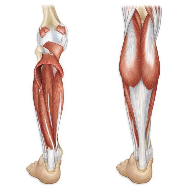 Строение ноги