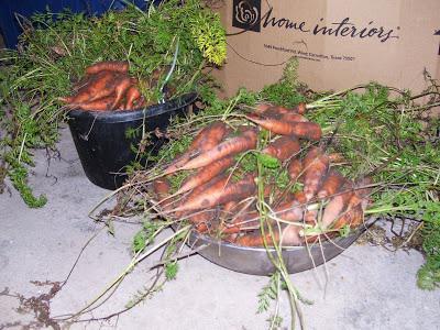 Когда убирать морковь с грядки на хранение?