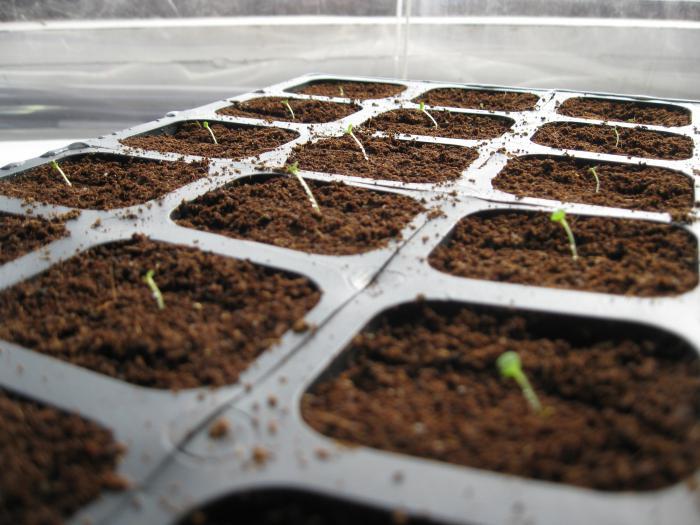 как сеять петунию на рассаду