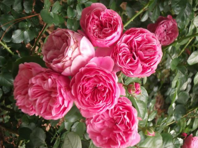 Роза леонардо да винчи отзывы форум