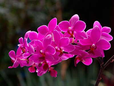 Цвет орхидея это какой