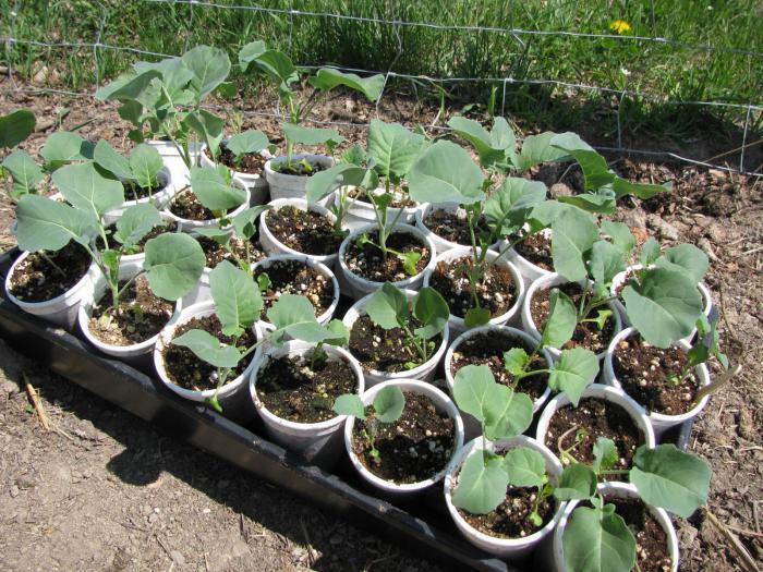 Выращивание капуста для семян 219