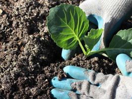 посадка рассады капусты в домашних условиях