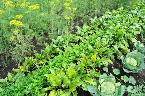 совместимость разных овощей на грядках как садить