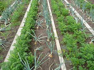 совместимость овощей на грядках советы огородникам