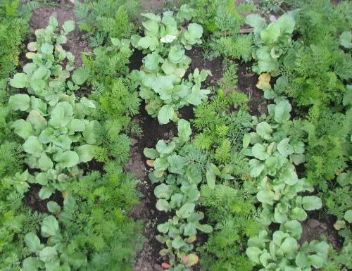 совместимость разных овощей на грядках