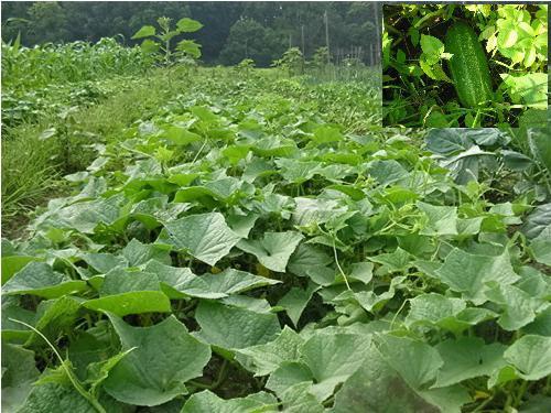 Выращивание огурцов для открытого грунта 16