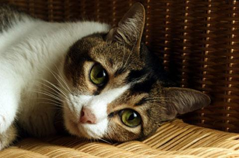 рак молочной железы у кошки