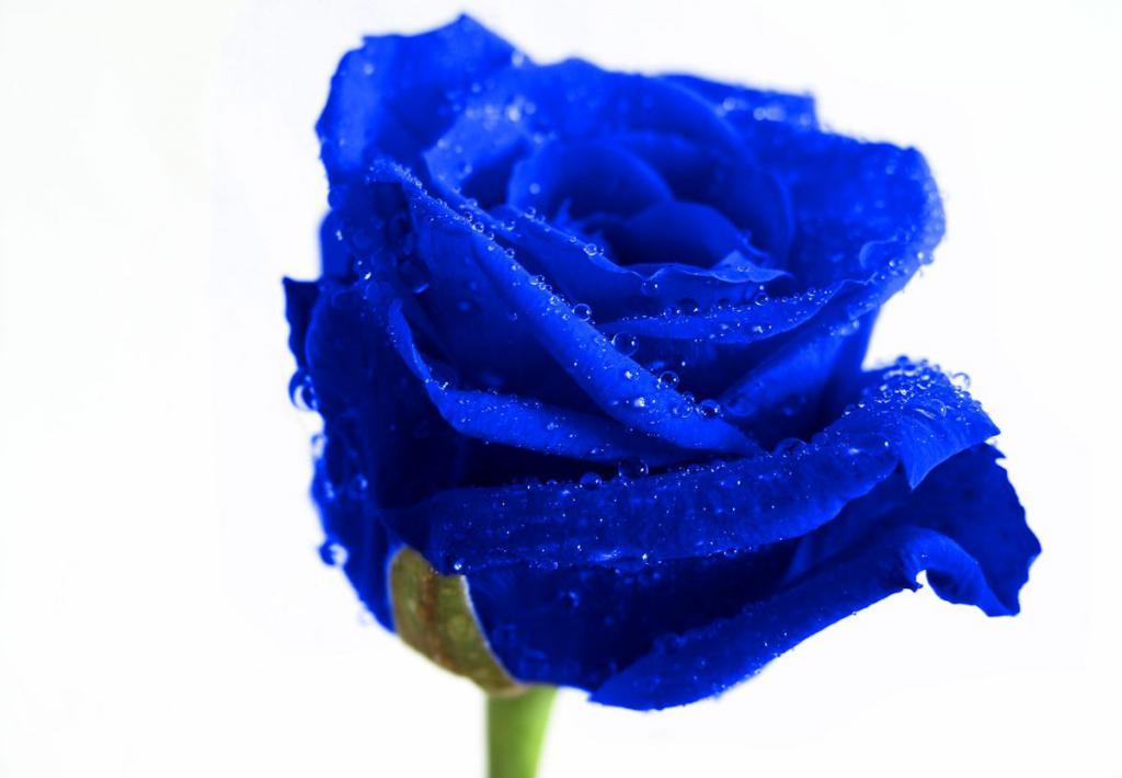 картинки розочки синие сих пор образ