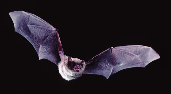Летучая мышь животное
