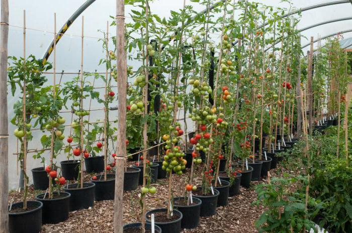 томат спасская башня f1 отзывы