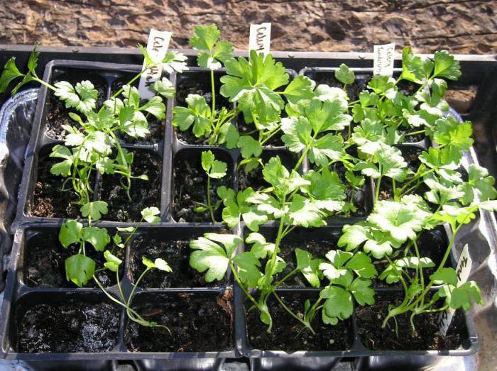 как вырастить сельдерей черешковый из семян