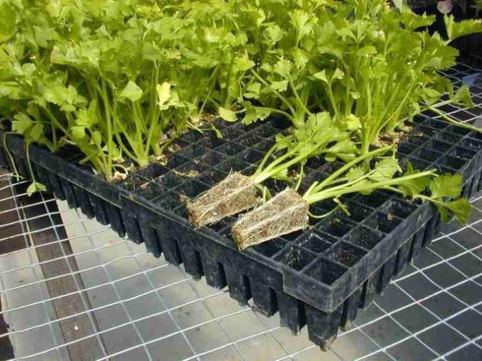 как вырастить черешковый сельдерей из семян в домашних условиях