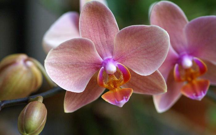 орхидея фаленопсис уход в домашних условиях пересадка