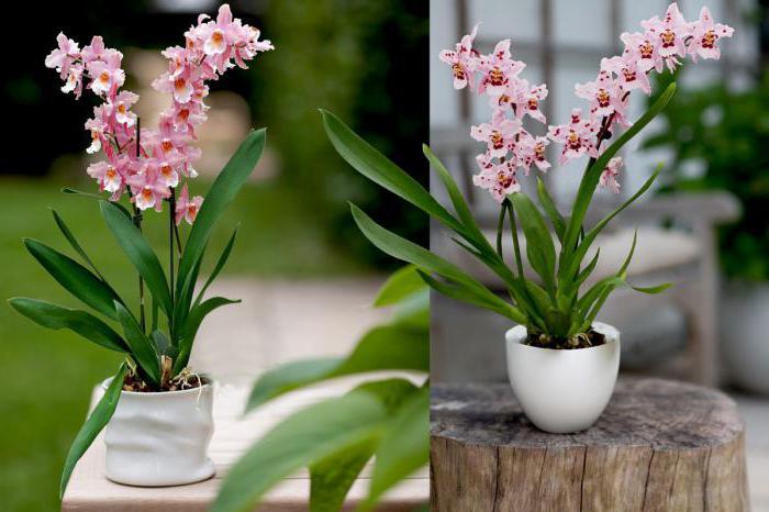 все об орхидеях уход полив пересадка