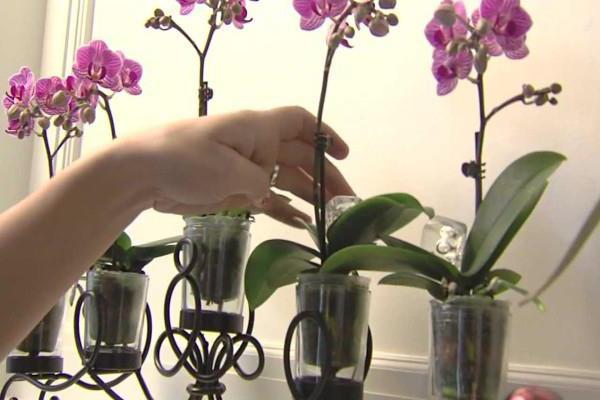 орхидея фаленопсис уход пересадка