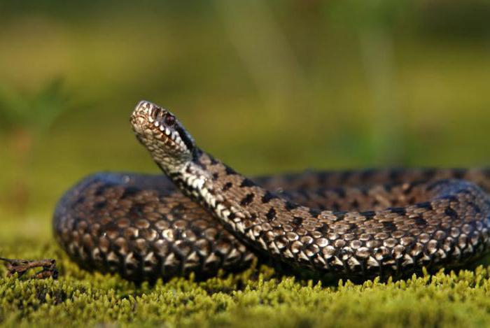 ядовитые змеи приморья картинки вот