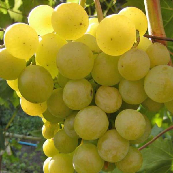 обрезка и укрытие винограда на зиму