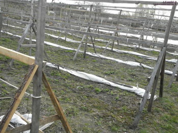 виноград галбена ноу описание