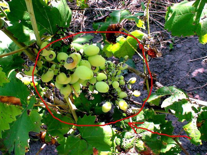 виноград галбена ноу золотинка