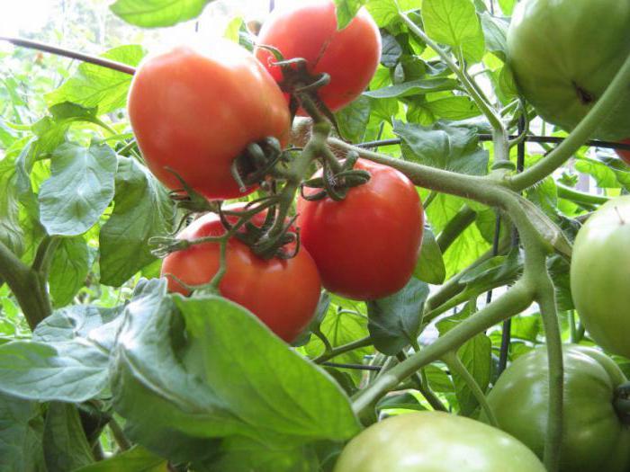 Салаты на зиму капуста с красными помидорами
